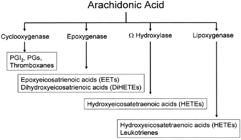 Figure 11: Several possible fates of arachidonic acid